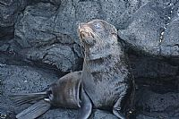 Santiago, Fur Seal