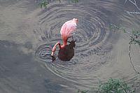 Floreana, Flamingo