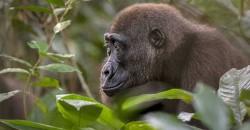 Congo Basin, Western Lowland Gorilla