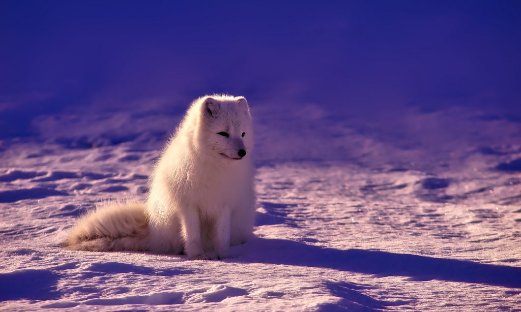 Crystal Northeast Passage - Arctic Fox