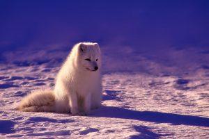 Crystal Northeast Passage - Arctic Fox