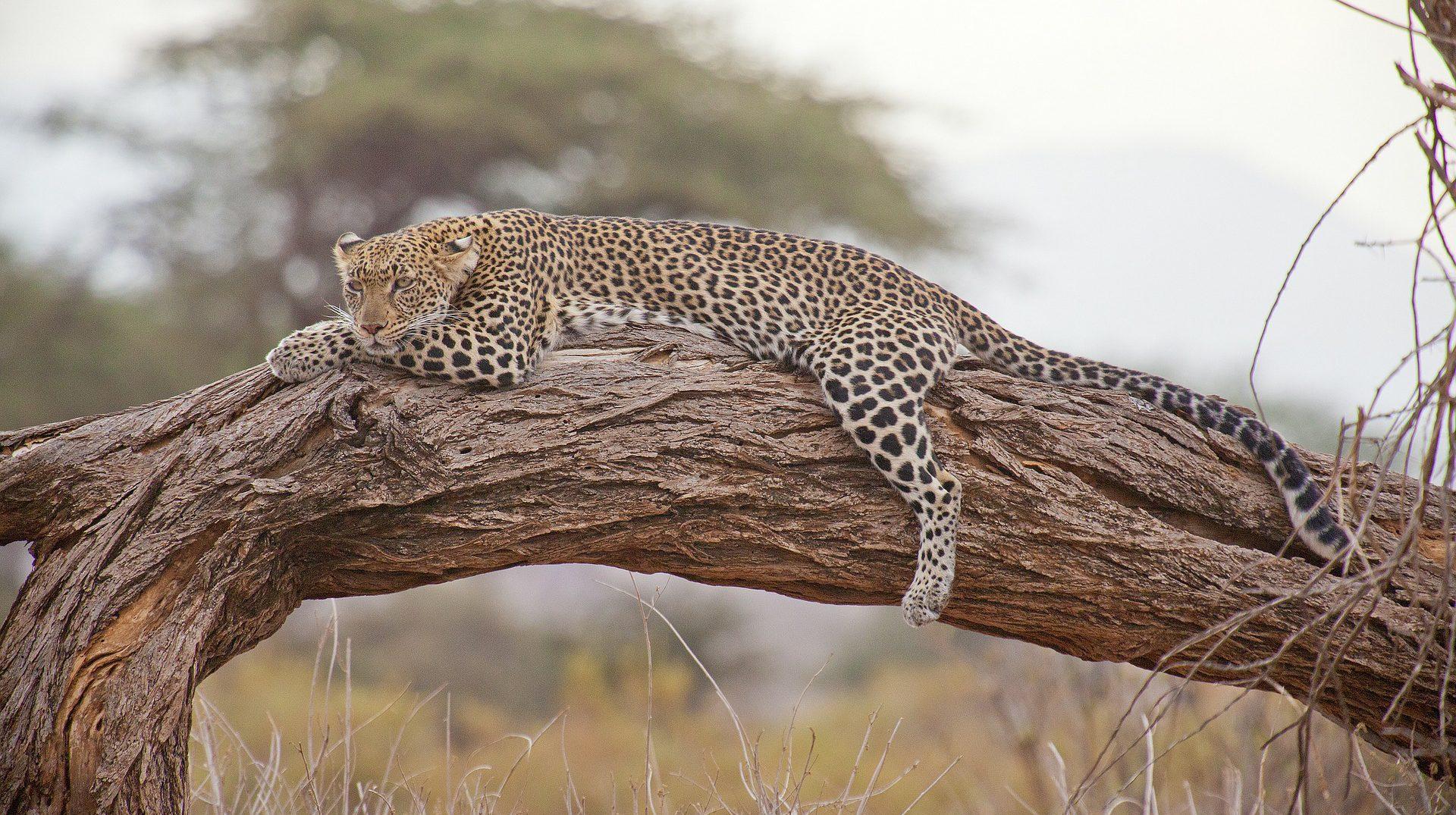 Africa, Kenya Safari, Leopard