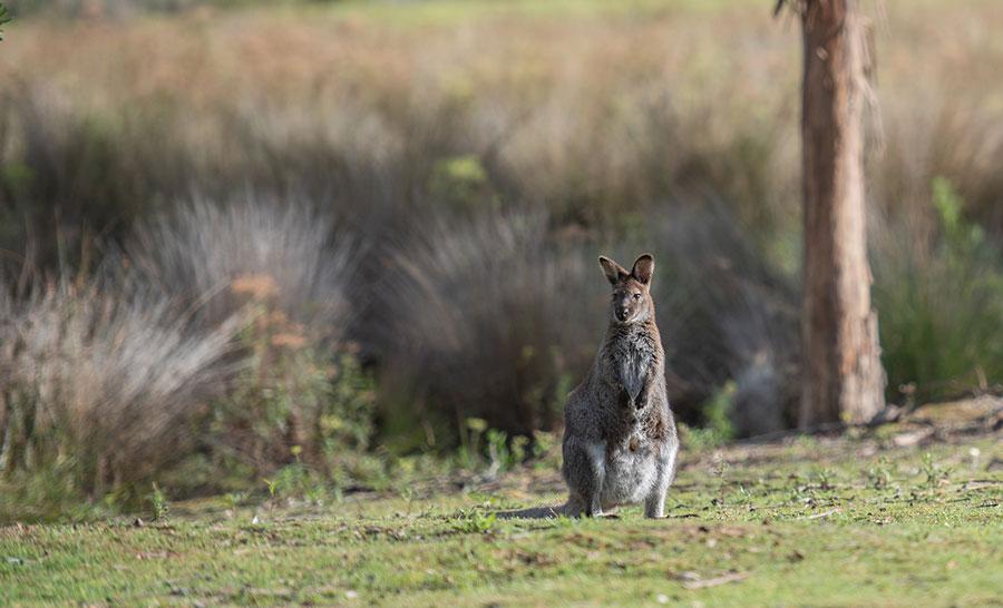 Tasmania Wallaby, Australia